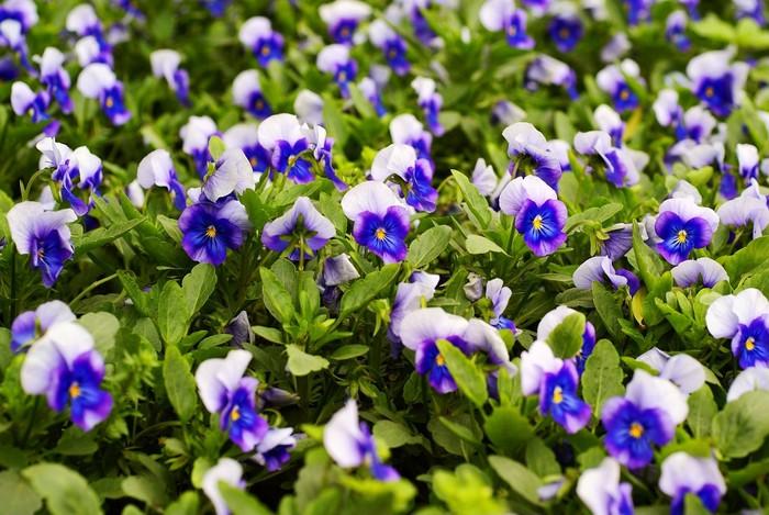 Vinylová Tapeta Lemovaný duhovka bylina květinová zahrada - Zemědělství