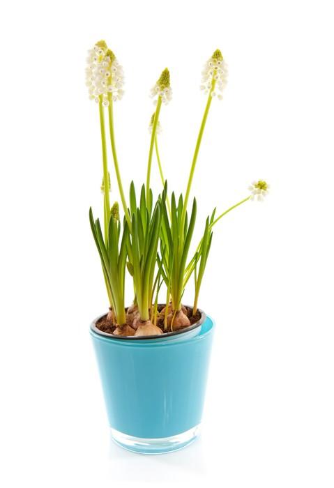 Vinylová Tapeta Izolované bílé magie květ modřenec širolistý - Květiny