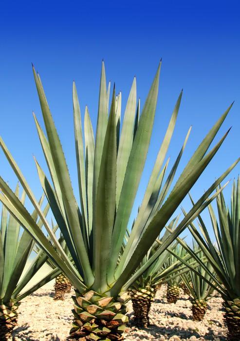 Vinylová Tapeta Agave tequilana zařízení pro mexické tequily alkohol - Amerika