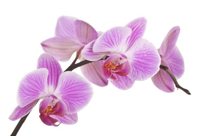 sticker orchidee rose p le 4 pixers nous vivons pour changer. Black Bedroom Furniture Sets. Home Design Ideas