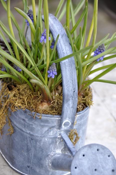Fotomural Estándar Extérieur decoración, flores de Muscaris - Casa y jardín