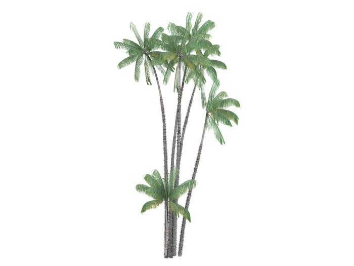 Vinylová Tapeta Nibung Palm (Oncosperma tigillarium) - Stromy a listí