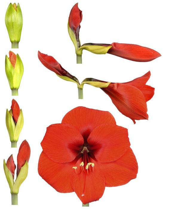 Vinylová Tapeta Hippeastrum květ - Květiny
