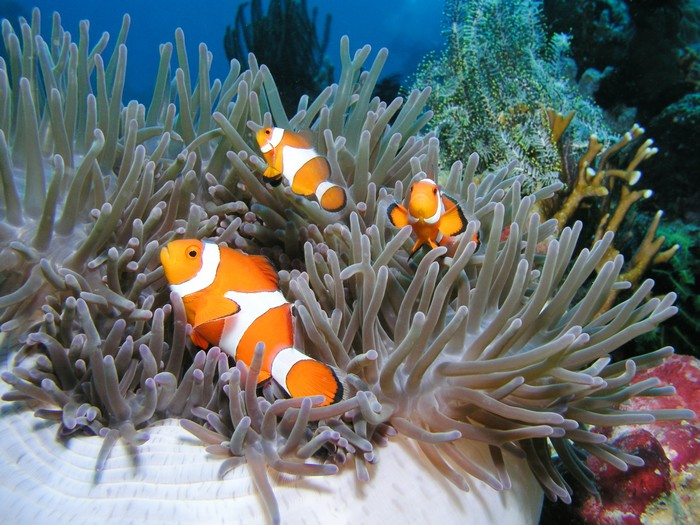 Anemonenfisch Clownfish Nemo Wall Mural Pixers We live to change