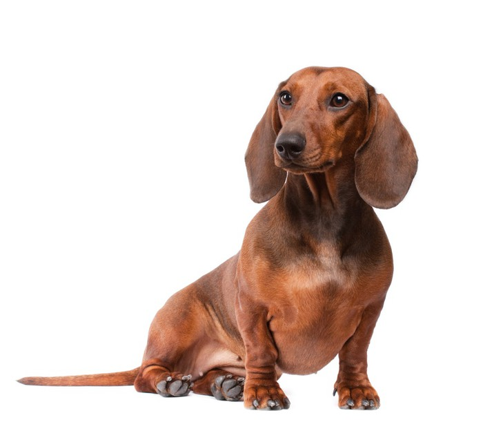 Risultati immagini per cane sfondo bianco