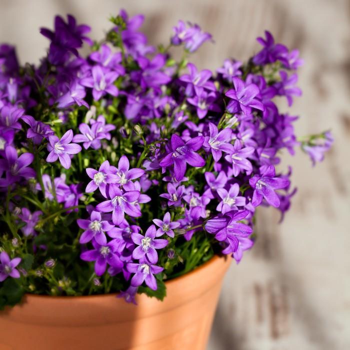 Purple bell flowers in beautiful sunlight wall mural pixers we purple bell flowers in beautiful sunlight vinyl wall mural flowers mightylinksfo