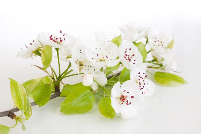 Vinylová Tapeta Kvetoucí strom na jaře na bílém - Stromy