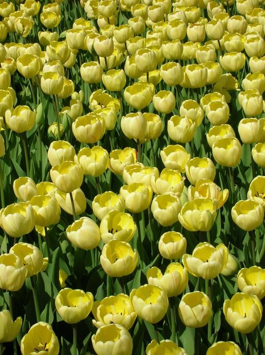 Vinylová Tapeta Tulips - Květiny
