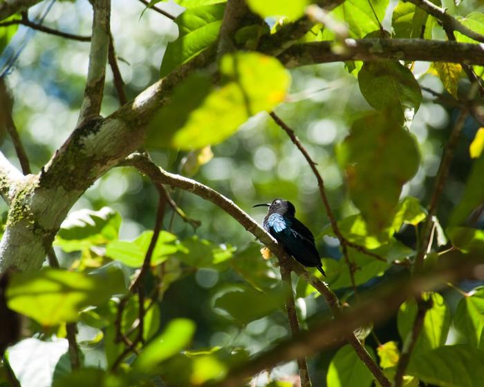Fototapete Kleiner blauer Vogel Kolibri, Guadeloupe • Pixers® - Wir ...
