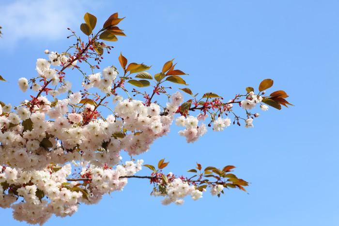 Vinylová Tapeta Třešňový květ v modré obloze - Roční období