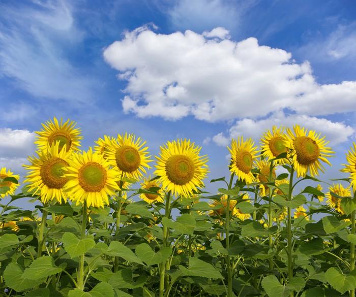 Vinylová Tapeta Sunflowers - Témata