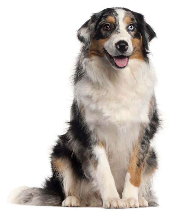 a short background information on the australian shepherd Australian shepherd short hair hiro dog lover loading australian shepherd (aussie) interesting facts information - animal facts - duration: 4:40.