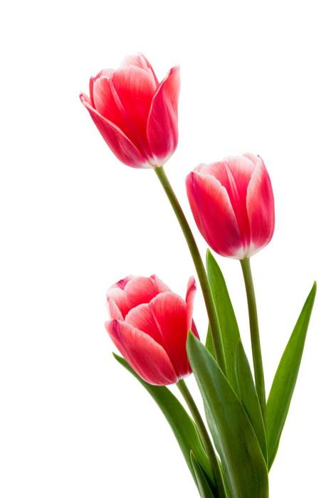 rote tulpen mit wei em rand kartmas pixerstick pixers haydi d nyan z de i tirelim. Black Bedroom Furniture Sets. Home Design Ideas