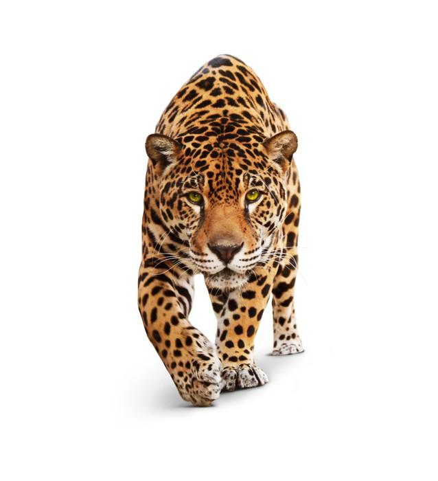 Papier Peint Vinyle Jaguar - vue de face animal, isolé sur blanc, ombre - Sticker mural