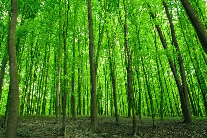 Vinylová Tapeta Les - Lesy