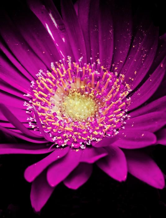Vinylová Tapeta Barevné germini květina - Květiny