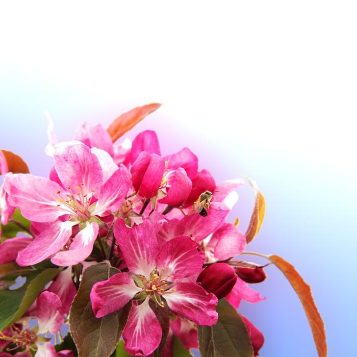 Vinylová Tapeta Apple Blossom s Bee hranice na Clear Sky - Domov a zahrada