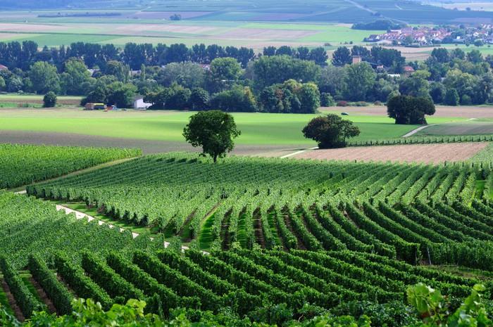 Vinylová Tapeta Grenn vinice - Zemědělství