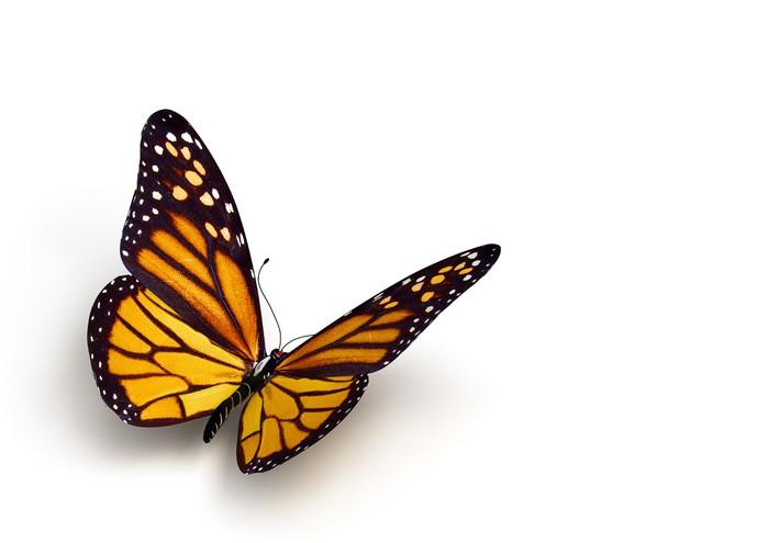 Vinylová Tapeta Motýl - Ostatní Ostatní