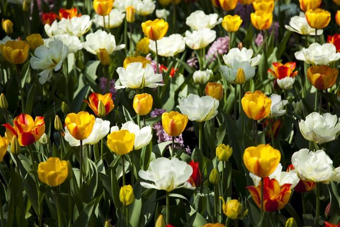 Vinylová Tapeta Tulipány pozadí - Květiny