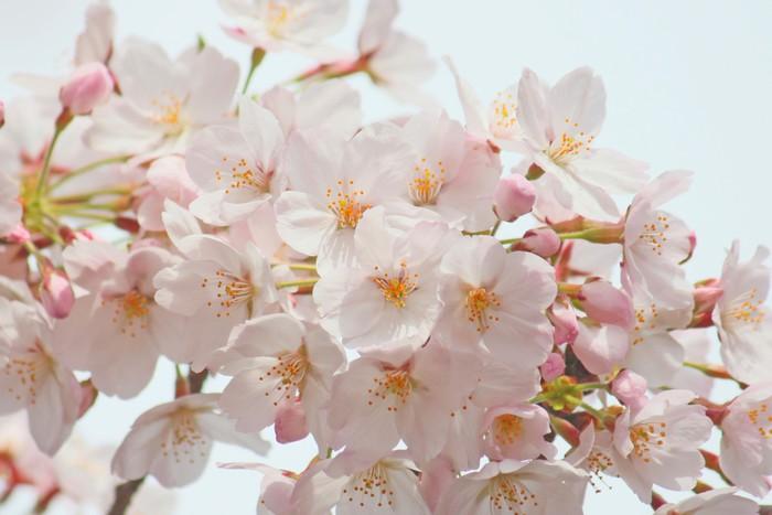 Vinylová Tapeta Cherry Blossoms - Roční období