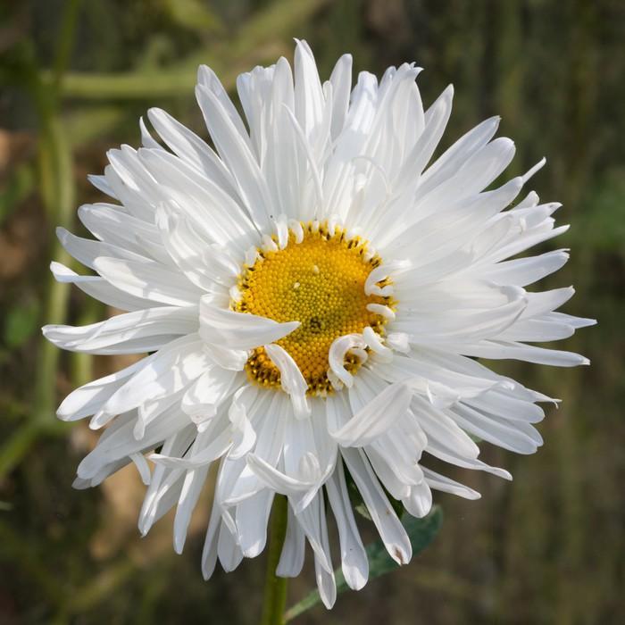 Vinylová Tapeta Angličtina daisy (Bellis perennis) - Květiny