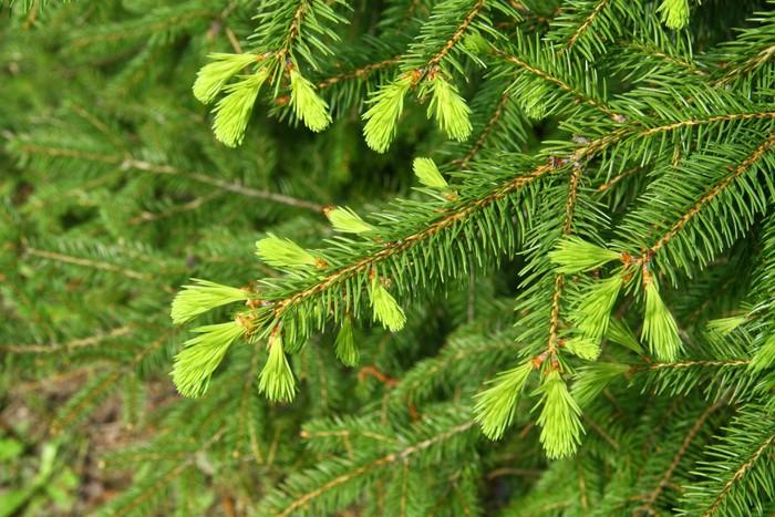 Vinylová Tapeta Mladí větev zelená smrk - Stromy