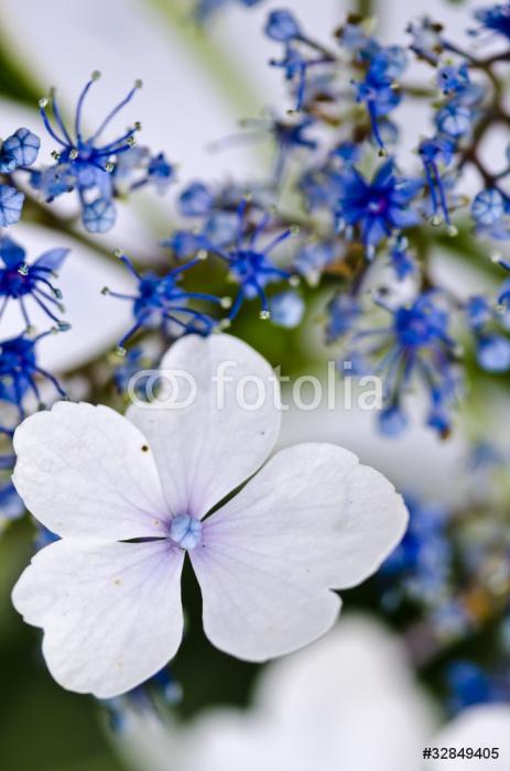 Vinylová Tapeta Blue Lace-cap Hydrangea detailní - Květiny