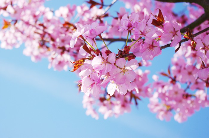 Pink Cherry Tree In Full Blossom Vinyl Wall Mural Themes