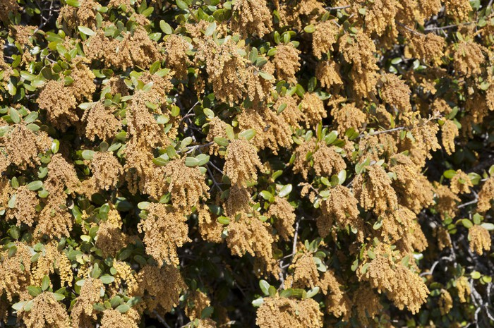 Vinylová fototapeta Flores masculinas de Encina (Quercus ilex subsp. Ballota) - Vinylová fototapeta