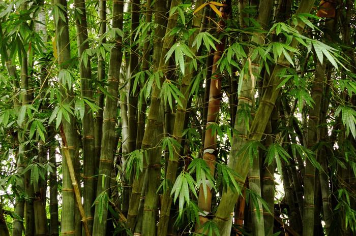 Vinylová Tapeta Giant bamboo shoot - Přírodní krásy