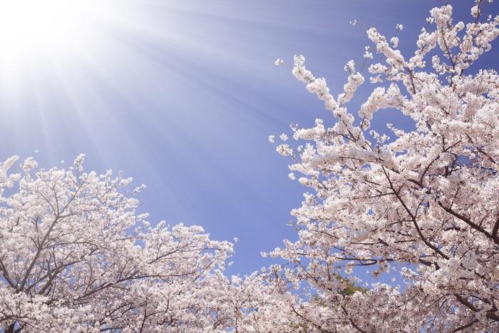 Vinylová Tapeta 桜 と 陽光 - Příroda a divočina