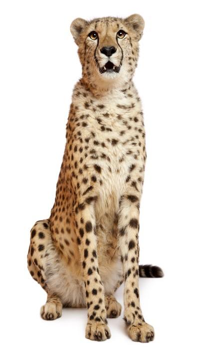 Papier Peint Vinyle Cheetah, Acinonyx jubatus, 18 months old, sitting - Mammifères