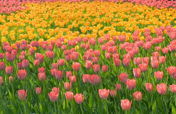 Tableau sur Toile Champ de tulipes jaunes roses avec des tiges vertes herbe - Thèmes