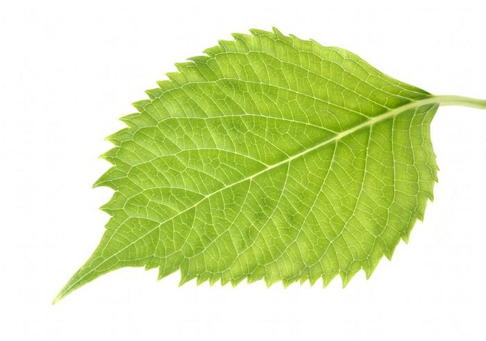 Vinylová Tapeta Leaf Hydrangea - Rostliny