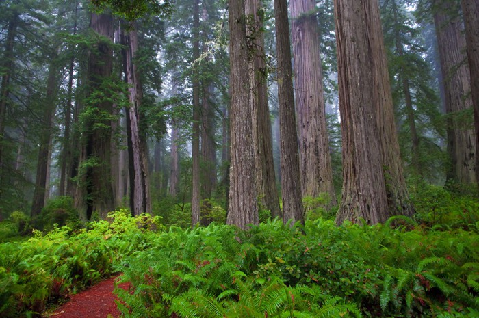 Vinylová Tapeta Redwoods - Venkov