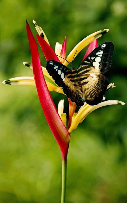 Vinylová Tapeta Hnědá černá motýl na květu heliconia - Témata
