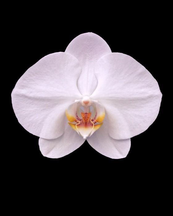 Fototapete Weiße Motte Orchidee auf schwarzem • Pixers® - Wir leben ...