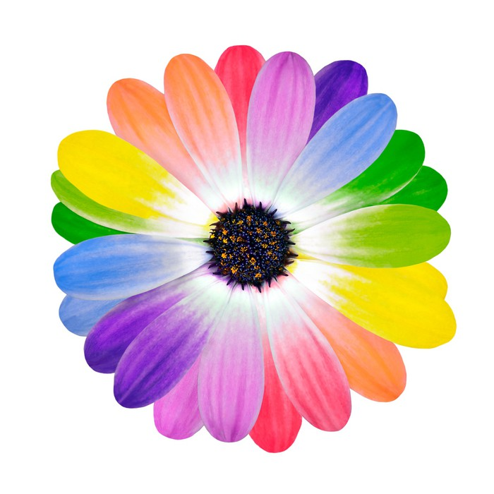 Color Daisies: Rainbow Multi Colored Petals Of Daisy Flower Wall Mural