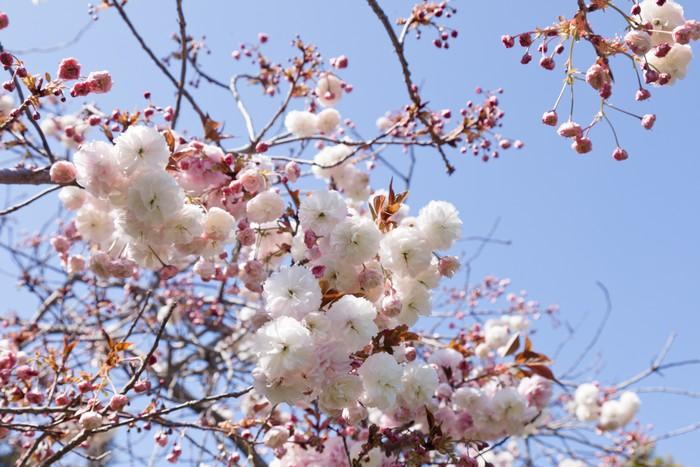 Vinylová Tapeta Mandlové květy - Stromy