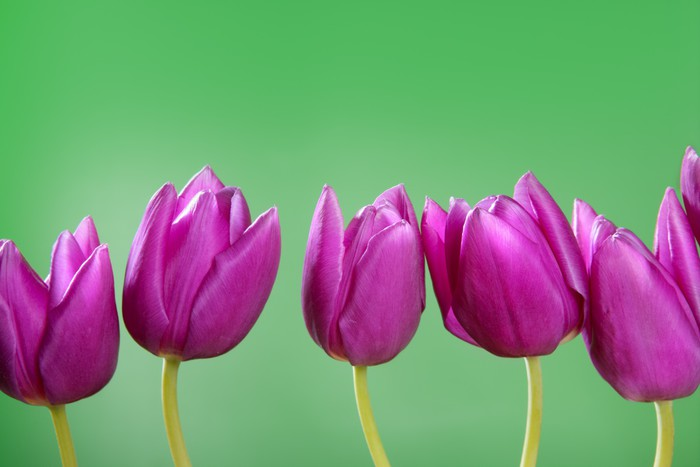 Carta Da Parati Rosa A Strisce : Carta da parati rosa fiori di tulipani in una disposizione linea