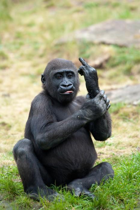 Fototapete jungen gorilla ragte den mittelfinger pixers for Fototapete jungen