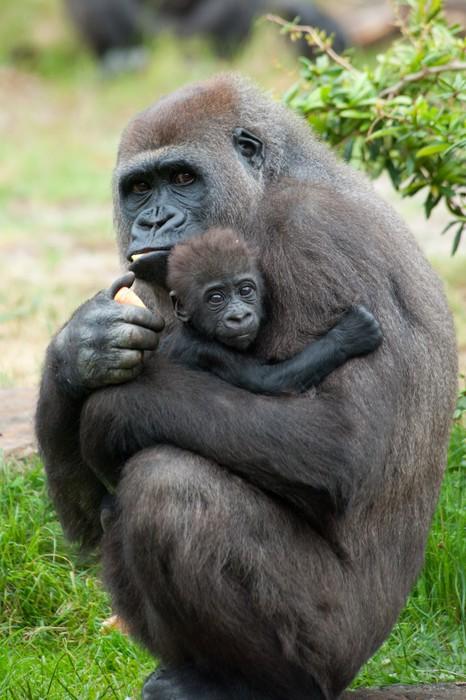Fotomural Gorila y su bebé • Pixers® - Vivimos para cambiar