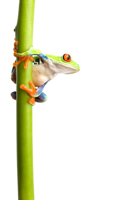 Vinylová Tapeta Žába na stonku rostliny izolovaných - Ostatní Ostatní