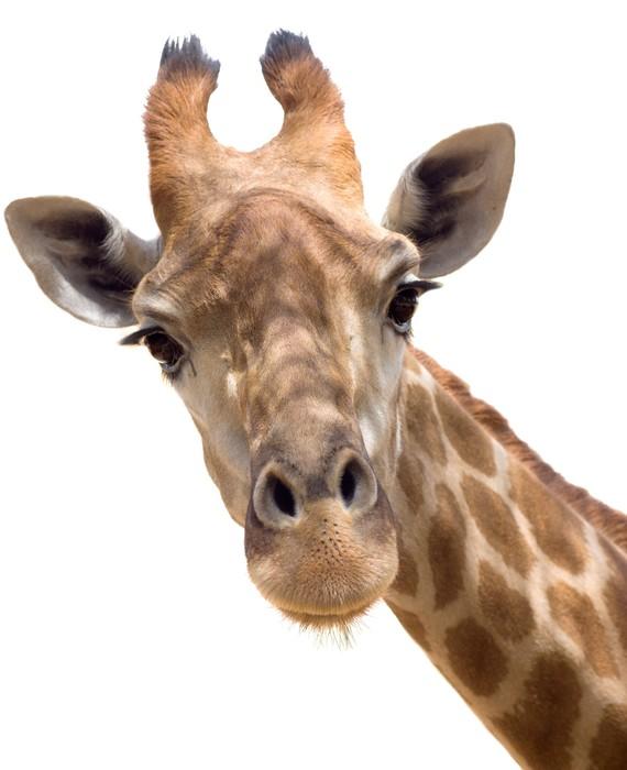 Vinylová Tapeta Žirafa closeup - Nálepka na stěny