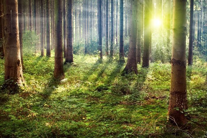 Papier Peint Vinyle Forêt Sunset - Thèmes