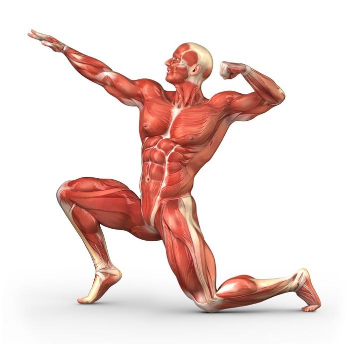 Vinilo para Cristal y Ventana Hombre sistema muscular Anatomía ...