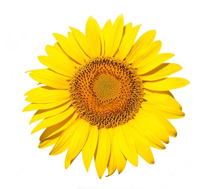 Vinylová Tapeta Zářivě barevné žluté slunečnice izolované přes bílé - Květiny