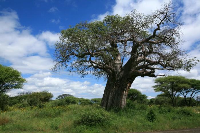 Vinylová Tapeta Baobab tree - Témata