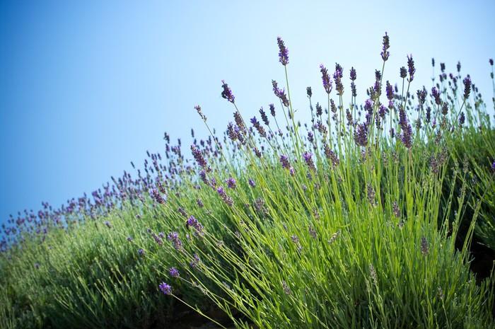 fototapete lavendel pflanze pixers wir leben um zu. Black Bedroom Furniture Sets. Home Design Ideas
